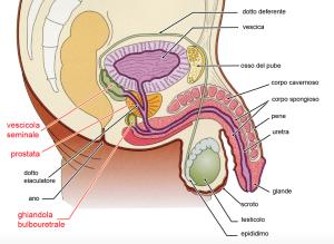 modello apparato urogenitale maschile