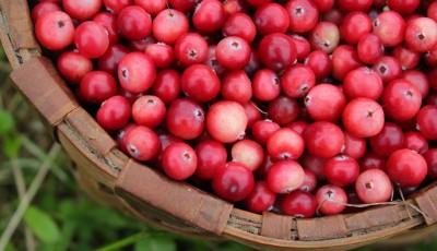 Il mirtillo rosso (cranberry) - L'antibatterico che viene dall'America